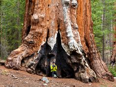 Picture of visitor with giant sequoia tree, Yosemite National Park