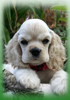 """adorable cocker spaniel puppy...my father brought home a golden cocker spaniel when I was about 6 or 7 years old...I loved """"Bonnie""""...but sadily she caught distemper and died young...but I have never forgotten her"""