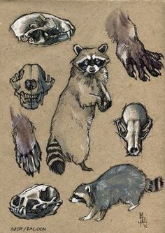 Anatomy study: Racoons by SpunkyRacoon on DeviantArt