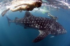 swimming with whale sharks - Thailand