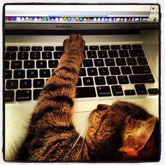 """No, u no can werk here, tis mine."" #SimonAndStellaCats #Stella #Simon #cats #cat #kitty #kitteh #gato #monkeybuns #furpig #neko #catsonlaptops (at La Kitteh Inn Pacifica Beach Hideway)"