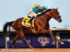 Understanding the Types and Classes of Horse Races: American Pharoah winning the 2015 Breeders' Cup Classic. This is the biggest race of the year for all thoroughbreds.