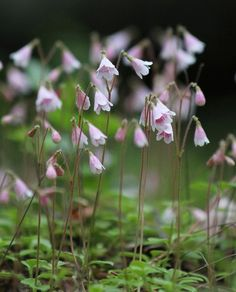 Linnaea borealis, wildplant, which I love.