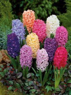 Comment avoir des fleurs avant le printemps avec des bulbes forcées  Bulb Flowers, Purple Flowers, Spring Flowers, Flower Pots, Pink Purple, Pink White, Rainbow Bedding, Hibiscus Rosa Sinensis, Narcisse