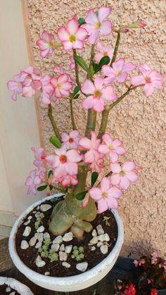 Colorful Succulents, Growing Succulents, Tropical Flowers, Pink Flowers, Planting Flowers, Desert Rose Plant, Desert Plants, Garden Plants, House Plants