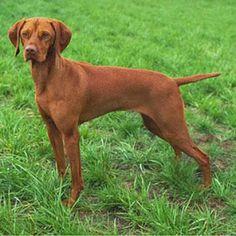 About Dog Vizsla: Basics of Vizsla Training
