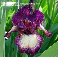 "Tall Bearded Iris - 'Epicenter'  Season	Early to Middle  Pattern	Plicata  Height	42"" (107 cm)  Standards Color: Red  Standards Detail: Solid black cherry  Falls Color: Orange  Falls Detail: Orange salmon ground, dotted black cherry edge  Beards: Sienna  **Please note that colors described by nursery are ""garden"" colors**"