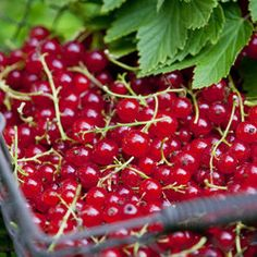 Red Currant Laxton No.1 | Parkers Wholesale