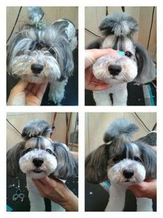 The many things we all like about the Outgoing Havanese Puppy #bischonhavanese #havanesepuppyphoto Havanese Haircuts, Havanese Grooming, Dog Haircuts, Poodle Grooming, Havanese Puppies, Maltipoo, Dog Grooming Styles, Dog Grooming Salons, Dog Grooming Tips