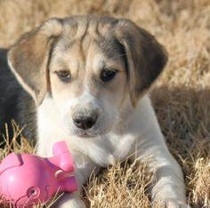 Claus - Labrador Retriever/ Beagle mix • Baby • Female • Large - Golden Huggs Rescue VT. http://www.petfinder.com/petdetail/28277446/