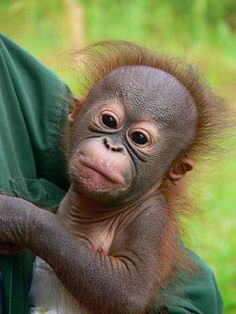 Baby orangutan at Samboja Lestari Cute Baby Animals, Animals And Pets, Funny Animals, Strange Animals, Cute Baby Pictures, Animal Pictures, Orangutan Sanctuary, Baby Orangutan, Borneo Orangutan