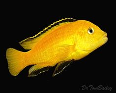 Lemon Yellow Labidochromis caeruleus, an Mbuna African Cichlid Species from Lake Malawi in East Africa.
