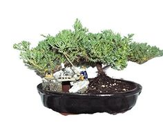 Fishermans Bridge Live Bonsai Tree Napa California ** Find out more about the great gardening product at the image link.