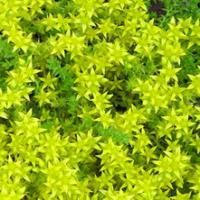 Like little yellow stars all over the ground, it's Sedum Goldmoss, a gorgeous groundcover.