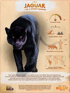 Like all Jaguars, I'm a shrewd warrior! Big Cat Week starts 11/29 at 9PM. Discover your inner Big Cat at http://bigcatweek.nationalgeographic.com/