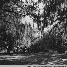 Pakenham oaks at Versailles Plantation in Saint Bernard Parish Louisiana in the 1920s :: State Library of Louisiana Historic Photograph Collection