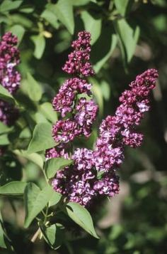 How to Transplant Lilac Suckers