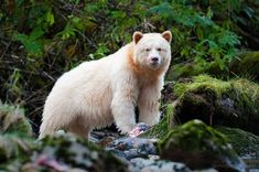 """This is the rare Kermode Bear. Not a Polar Bear. They are the white variant of the North American black bear. They are also called the """"Spirit Bear"""". The Kermode Bear phenomenon only happens in one of every 40 to 100 black bears. Touching Spirit Bear, Rare Albino Animals, Bear Island, American Black Bear, Love Bear, Bear Art, Weird World, Panda Bear, Pet Birds"""