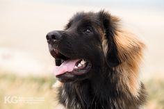 Portret van een Leonberger | Honden fotografie op locatie