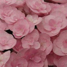 Buy Hydrangea macrophylla Romance