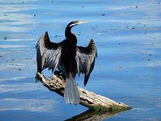 Australasian Darter - Yerrabi Pond, ACT