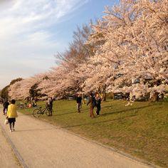 Cherry blossom - Kamogawa  (Kyoto)