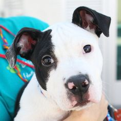 *DOMINO-ID#A741433  Shelter staff named me DOMINO.  I am a male, black and white Pit Bull Terrier.  The shelter staff think I am about 4 m...