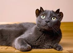 Yoda, a smoke-colored feline whose four ears give him the appearance of a horned devil