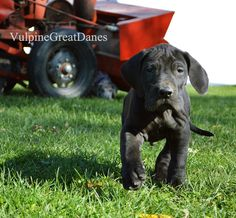Black Male Black Great Dane Puppy, Black Great Danes, Dane Puppies, Dogs, Black Men, Animals, Animales, Animaux, Doggies