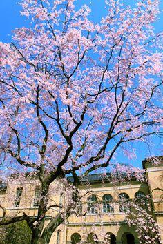 #Kyoto #sakura
