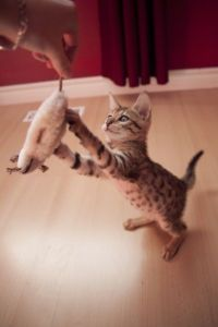 $350 Lovely Bengal Kitten For Sale - Ottawa Cats & Kittens For Sale - Kijiji Ottawa Canada.