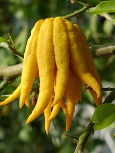 Buddha's hand, Citrus medica var. sarcodactylis, is a fragrant citron variety whose fruit is segmented into finger-like sections. Info ~ Wikipedia