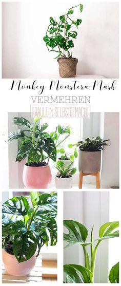 Monkey Monstera Mask Vermehren und Ableger einpflanzen Die Monkey Monstera Mask ist eine super beliebte Pflanze! In diesem Beitrag möchte ich euch zeigen, wie ihr die Monkey Monstera vermehrt, worauf ihr bei der Pflege achten solltet. Was die Ableger so brauchen und wo ihr euch eine Monkey Monstera Mask kaufen könnt. Super, Green, Plants, Diy, Handy Tips, Indoor House Plants, Bricolage, Plant, Handyman Projects