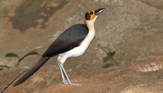 ROCKFOWL Picathartidae - found in West and Central Africa.