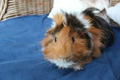 The sweetest guinea pig on earth