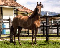 Suplica de Chapala Color: Alazan Nacimiento: 05/09/2009 Joyero III x Ponderosa Estrategia www.criaderoelastro.com