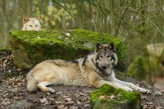 By Ralf Seelert Photography - Wolves Baby Animals, Cute Animals, Wild Animals, Of Wolf And Man, Wolf Pictures, Wolf Photos, Beautiful Wolves, Beautiful Dogs, Wolf Stuff