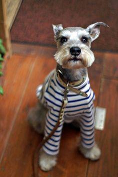 Preppy wire hair terrier