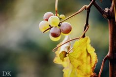 Trip in vineyards, Wachau, Krems an der Donau