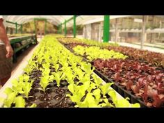 Aquaponics produces both fish and organic or chemical free fruits and vegetables, in a dynamic, man made, pond-type ecosystem. It can either feed just you and your family or it can be part of feeding a community. Aquaponics, it's the farming of the future!