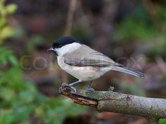 Just sold @Colourbox: #Marsh #Tit (Poecile palustris) #bird #animal #denmark https://www.colourbox.dk/billede/marsh-tit-poecile-palustris-billede-12170168