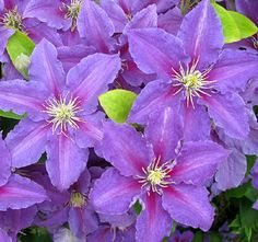 --Clematis Ristmagi--Color and frilly edges. 6-8 feet. Prune Group 3. Full Sun/Part Shade