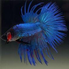 Live Betta Fish Male METALLIC ROYAL BLUE CROWNTAIL