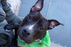 1/7/17 NYC ACC A1100660 Check out Zeus' profile on AllPaws.com and help him get adopted! Zeus is an adorable Dog that needs a new home. https://www.allpaws.com/adopt-a-dog/american-pit-bull-terrier/5716991?social_ref=pinterest
