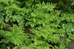 Woodland planting: Gymnocarpium disjunctum (Common Oak Fern), wild ginger and Vancouveria (Inside-out flower)   Great Plant Picks