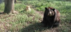 Lions and tigers and bears, oh my! The Jungle Book predators who ...