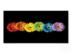 RAINBOW GERBERA DAISIES - Flowers & Nature Background Wallpapers ...