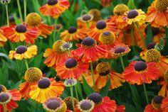 Helenium 'Sahin's Early Flowerer'. Een van de vroegst bloeiende soorten. Bloeit van juli tot september. Hoogte 100 cm. AGM.