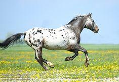 Wielkopolski stallion Debiut
