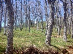 El bosque de robles en invierno.